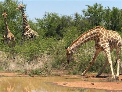 Güney Afrika-Safari Turu 13 Ekim & 17 Kasım & 08, 09 Aralık 2019 & 08 Şubat 2020