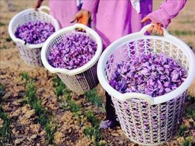 Safranbolu Safran Çiçeği Hasadı Turu - 1 Gece Konaklama